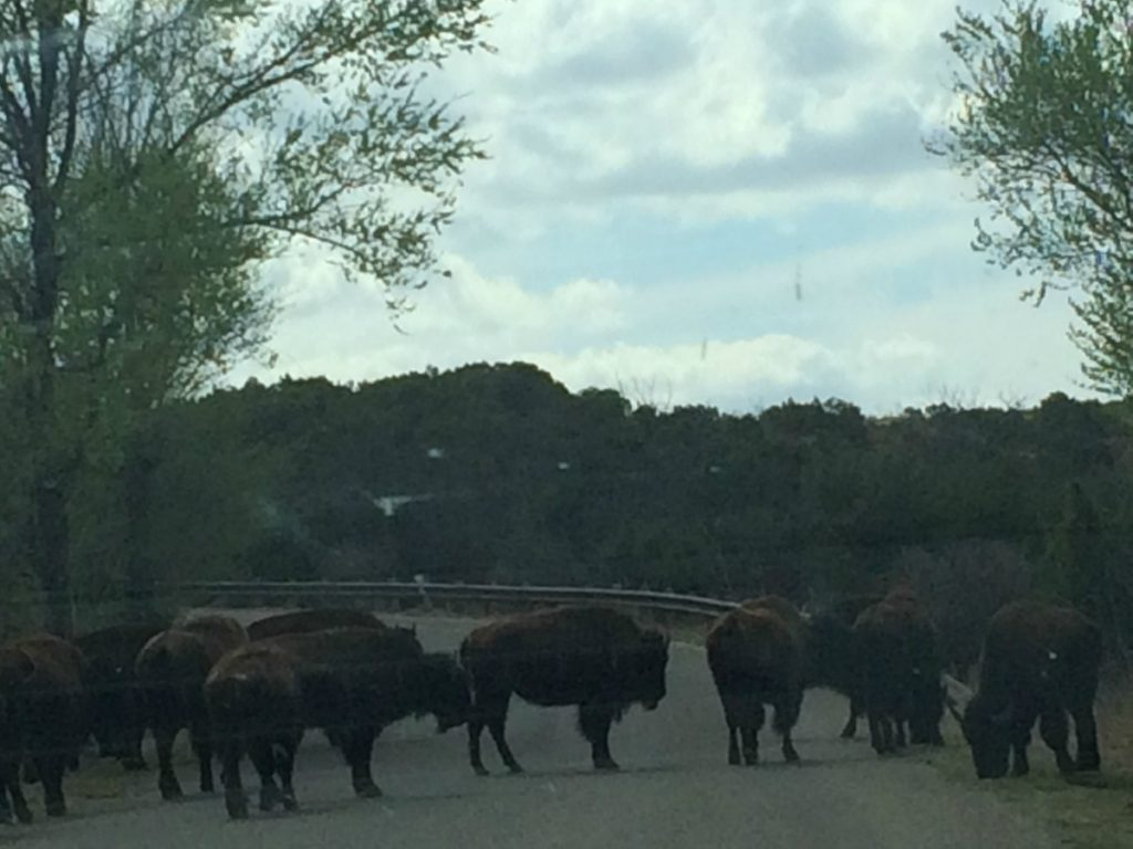 What To Do When Buffalo Are Blocking The Road